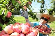 27일 전북 완주군 이서면 농촌진흥청 국립원예특작과학원 과수 재배지에서 연구원들이 신품종 자두 '젤리하트'를 수확하고 있다.