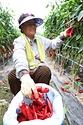 14일 충남 금산군 군북면 고추 밭에서 농부들이 농촌진흥청 국립원예특작과학원이 개발한 '수확량 향상 기술'로 키운 고추를 수확하고 있다. 이 기술은 줄기를 기존 1줄기가 아닌 4줄기로 재배하는 육묘법으로, 수량을 20% 이상 늘릴 수 있다.