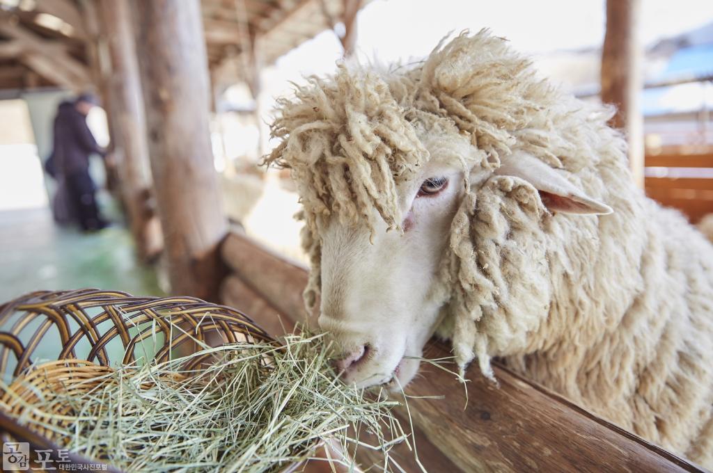 강원도 평창군 대관령면에 위치한 대관령 양떼목장에서는 건초주기 체험을 할 수 있는 체험장이 마련되어 있으며, 입장권을 주면 건초로 교환해준다. 건초를 먹는 순한 양을 가까이서 관찰하는 것도 좋은 체험이 된다. <br/> <br/> - 대한민국 테마여행 10선 '평창로드' (1일차 코스)