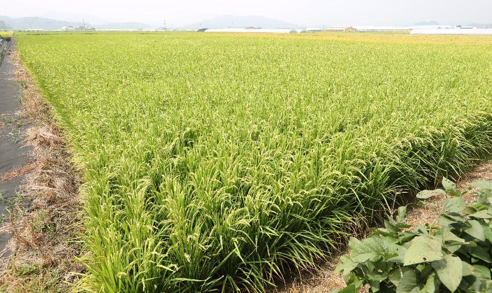 9월 7일 세종시 연동면 송용리 소재에서 쌀전업농 사낭규(57세)씨가 조생종 품종인 운광벼 수확을 위해 벼를 살펴보고 있다.