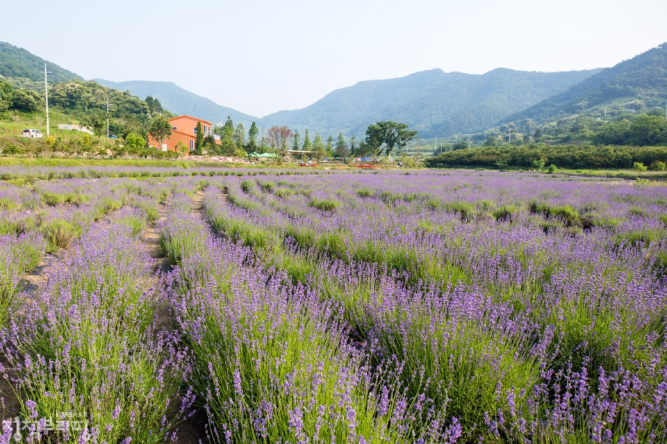 6월 8일 광양시 사라실 라벤더 시험재배단지 풍경 (사진=광양시청)