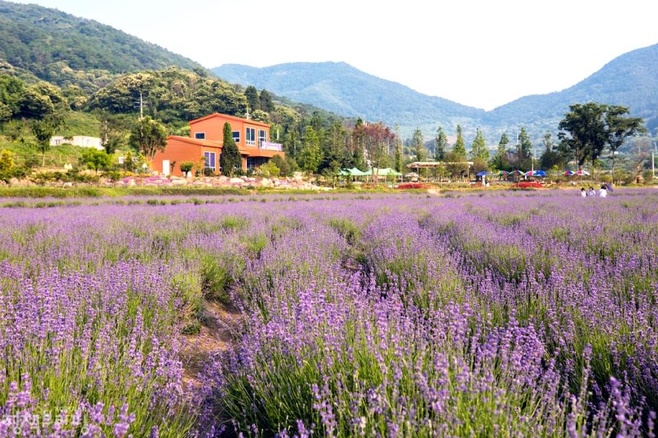 6월 7일 광양시 사라실 라벤더 시험재배단지 풍경 (사진=광양시청)