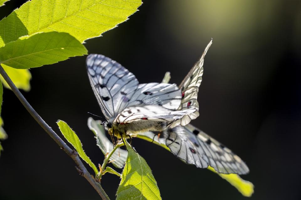 [붉은점모시나비 짝짓기 모습] <br/><br/>  환경부 지정 멸종위기 야생생물 1급 붉은점모시나비는 기후변화에 민감한 한지성 곤충으로 세계자연보전연맹(IUCN) 적색목록집과 멸종위기에 처한 야생동·식물종의 국제거래에 관한 협약(CITES)에 등록된 세계적인 멸종위기 곤충이다. 환경부는 붉은점모시나비 복원사업을 진행해 인공증식한 개체를 자연에 방사하는 등 노력해왔다.