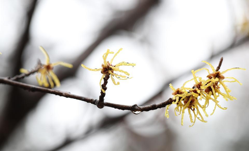 <p>봄비가 오는 12일, 서울 홍릉수목원에 풍년화가 만개하고 복수초가 살짝 얼굴을 내밀고 있다.</p>