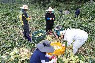 농촌진흥청 국립축산과학원 직원들이 10일 진안군 부귀면을 찾아 집중호우로 피해를 입은 옥수수밭에서 수확을 돕고 있다.