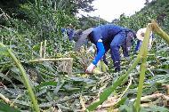 농촌진흥청 국립축산과학원 직원들이 10일 집중호우로 피해를 입은 진안군 부귀면 소재의 옥수수밭에서 피해 복구에 힘을 보태고 있다.