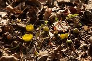 전국 대부분에서 최고기온 10도 넘는 포근한 날씨를 보이는 1월 25일 오후 홍릉시험림에 복수초가 피어있다. 홍릉시험림의 복수초가 1월에 꽃망울을 터뜨린 것은 1985년 개화 관측이 시작된 이래 이번이 여섯번째이다.  (출처=국립산림과학원)