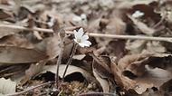 국립생태원의 야외전시공간인 한반도숲에 봄을 알리는 대표적인 야생화 '노루귀'가 피었다.   노루귀는 흰색, 분홍색, 보라색 꽃을 피우며 꽃이 지고 잎이 나올 때 깔때기처럼 동그랗게 말려진 잎에 잔털이 있어 마치 노루의 귀를 연상시킨다고 하여 붙여진 이름이다. 노루귀는 전 세계적으로 7종이 분포하며 그 중 우리나라에는 노루귀, 새끼노루귀, 섬노루귀 3종이 자생한다. (출처=국립생태원)