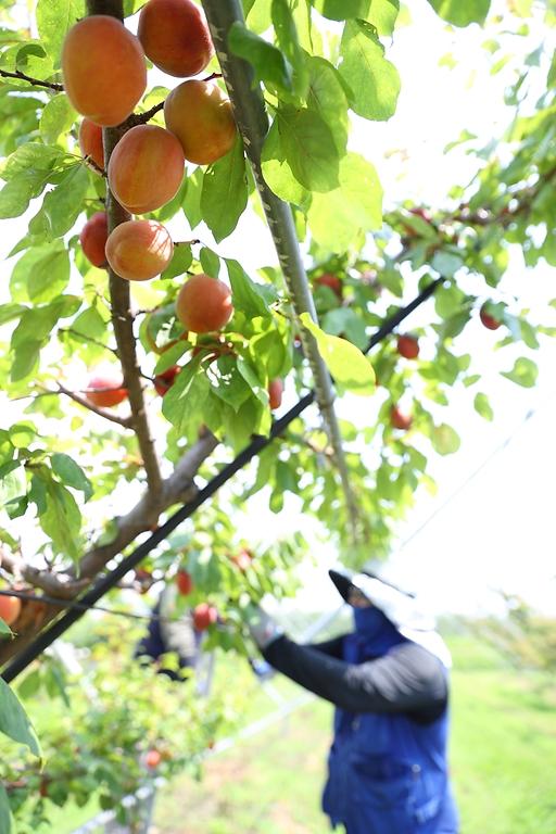 22일 전북 완주군 이서면 농촌진흥청 국립원예특작과학원 과수 재배지에서 직원이 연구용으로 재배한 '플럼코트'를 수확하고 있다. '플럼코트'는 자두와 살구를 교배해 만든 과일이다.
