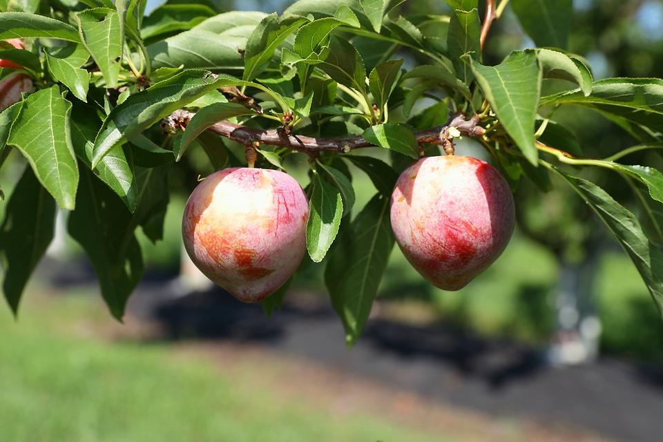 하트 모양의 '젤리하트'는 신맛이 적고 달콤하며 유통 중 물러지는 단점을 보완한 품종으로 미래 자두 소비를 이끌 품종으로 기대를 모으고 있다.