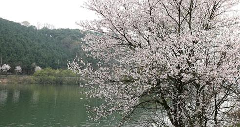 천년 고찰 처마 끝 꽃눈 내리고 익산 심곡사 벚꽃