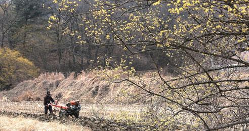 강변 길 따라 일렁이는 봄꽃 파사산 산수유