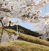 개나리와 벚꽃이 함께 핀 강릉 오죽헌