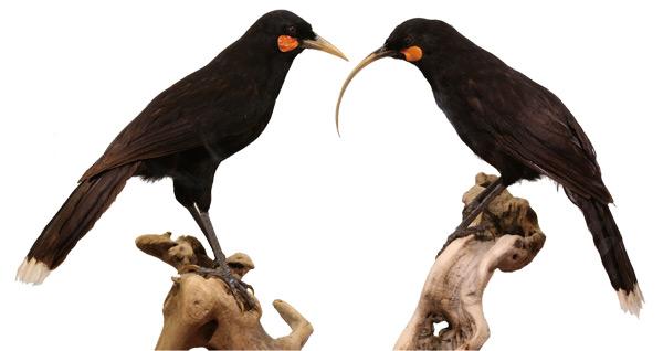 [이정모의 과학] 깃털이 아름다워 멸종한 새