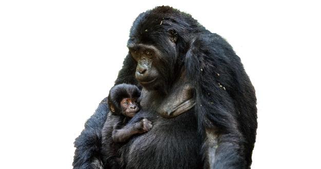 [이정모의 과학] 고릴라한테 배우는 아빠의 육아