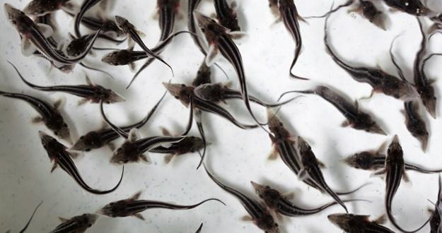 물 실컷 못 마시는 목마른 물고기