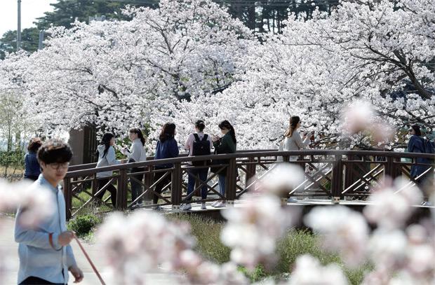 벚꽃이 만개한 경포호에서 봄을 만끽하는 관광객