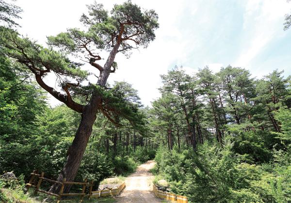 금강소나무 숲길