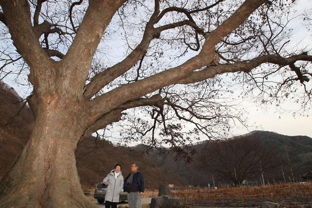 김용택시인느티나무