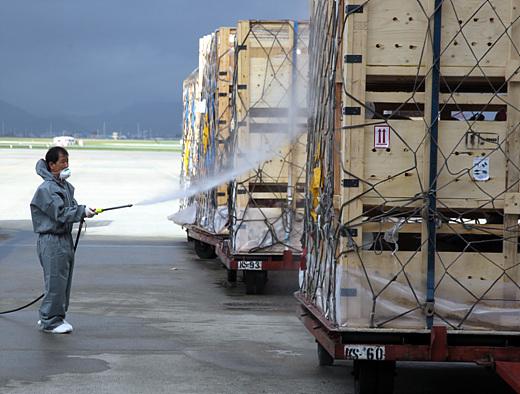 김해공항 검역소 직원이 북미에서 수입된 종돈(씨돼지)에 대해 소독작업을 펼치고 있다.(사진=저작권자 (c) 연합뉴스. 무단전재-재배포금지)