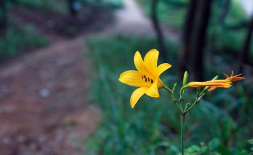 소나무숲길에 환하게 핀 원추리꽃