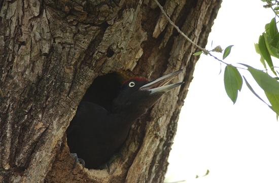 까막딱따구리. 미루나무 등 무른 나무에 구멍을 뚫고 번식을 하는 새이다.