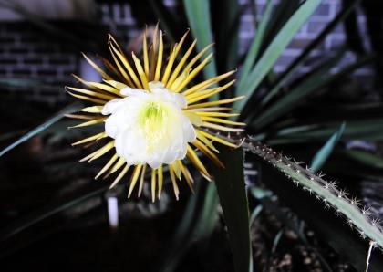 '밤의 여왕'이라 불리는 멕시코 원산 '셀레니체레우스' 선인장은 일 년에 단 한 번 야간에 6시간 정도만 개화하여 그 모습을 관찰하기가 쉽지 않다. 국립수목원이