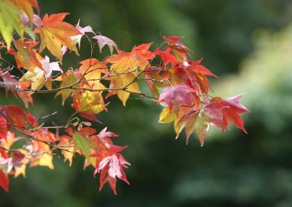 가을여행주간(10.24~11.6)을 앞둔 19일 전북 정읍 내장산에는 단풍나무가 조금씩 물들어 가고 있다.