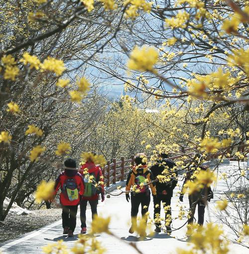 구례 산수유꽃 축제.(사진=구례군청)