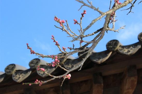 비로소 봄이 찾아온 듯, 연분홍 매화가 아름답게 피었다.