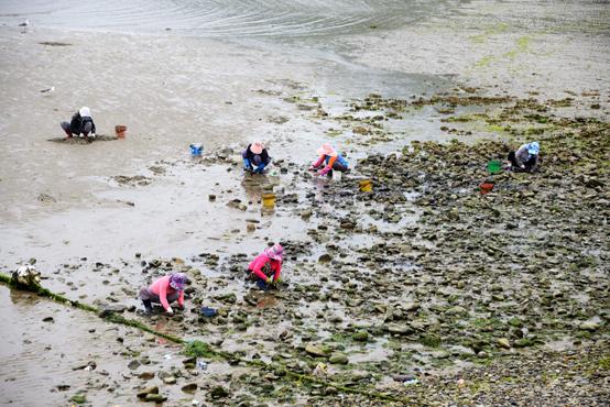물이 빠지자 어머니들이 호미를들고 갯벌로 나섰다. 여름철 섬밥상을 풍성하게 해주고 단백질을 공급해주는 고마운 갯벌이다.