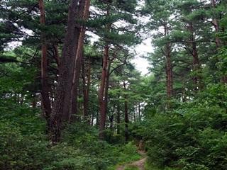 어명 받은 소나무길을 걷다~