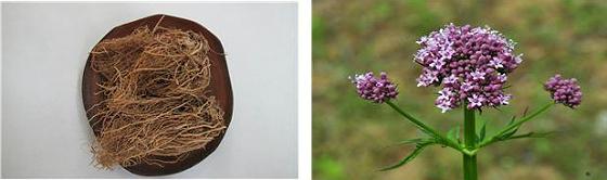 쥐오줌풀 뿌리(왼쪽), 쥐오줌풀 꽃 (제공=농촌진흥청)