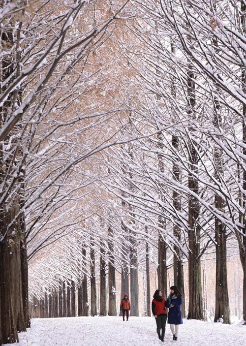 아름다운 숲길로 유명한 전남 담양군 메타세콰이아숲길에 많은 눈이 내려 장관을 연출하고 있다. (사진=저작권자 (c) 연합뉴스. 무단전재-재배포금지)