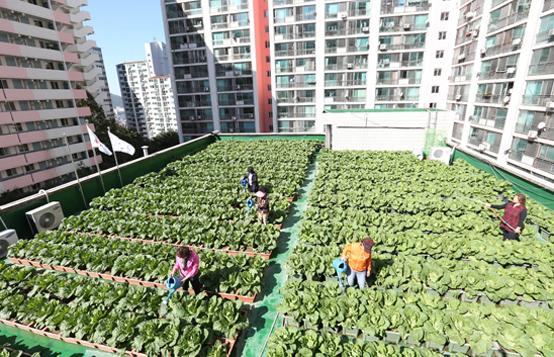 아파트 관리동 옥상에서 키운 배추에 주민들이 물을 주고 있다. (사진=저작권자(c) 연합뉴스, 무단 전재-재배포 금지)