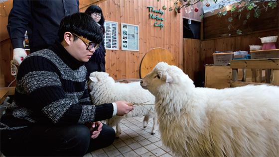대관령에서 상경한 서울 양 '허니'와 '슈가' 때문에 양 카페로 더 잘 알려진 '땡스네이쳐'