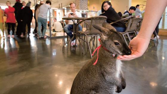 호주에서 온 왈라비가 '미어캣 프랜즈'를 찾은 손님을 반긴다.(사진=C영상미디어)