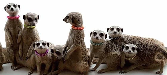 아홉 마리의 미어캣.(사진=미어캣 프랜즈)
