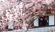 '살구꽃 필 무렵'…고궁서 즐기는 봄꽃 여행