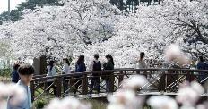 흩날리는 벚꽃, 지금은 꽃길만 걸어요