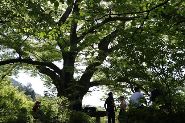 무등산 당산나무