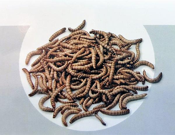 고소한 맛이 일품이라 고소애란 애칭을 얻은 갈색거저리. 벅스푸드는 고소애를 활용한 다양한 제품을 개발하고 있다.