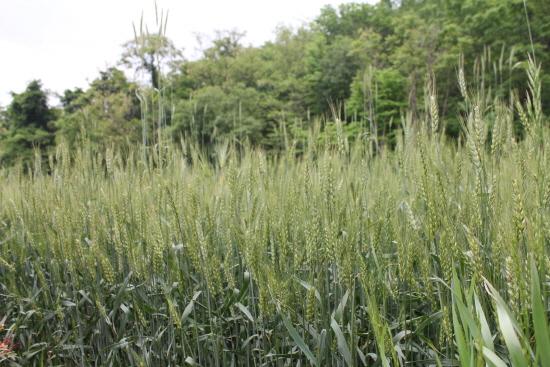 박목월 생가 앞의 밀밭.