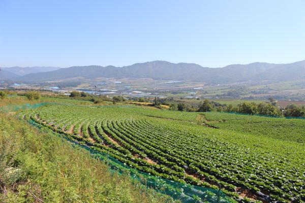 펀치볼 마을에서는 배추, 시래기 등 양질의 고랭지 채소가 생산된다.
