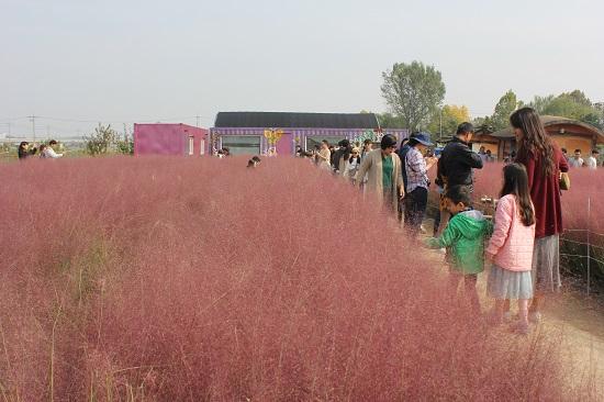 핑크뮬리로 물든 평택 바람새마을