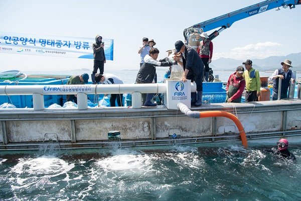 지난해 5월 31일 강원도 고성군 공현진 연안 해역에서 한해성수산센터 관계자들이 어린명태를 방류하고 있다. 이날 어린명태 50만 마리가 방류됐다.(출처=뉴스1)