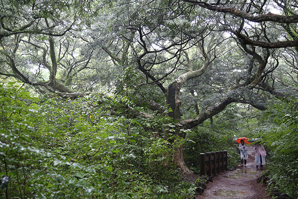 비자림 숲길을 걷고 있는 탐방객들.