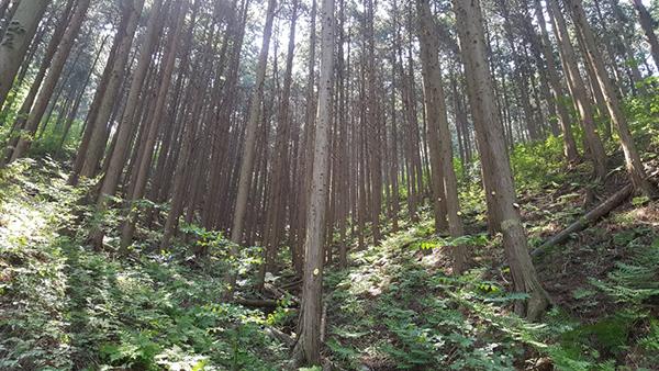 장성 편백숲.(사진=산림청)