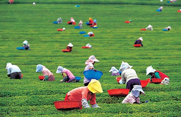보성 녹차밭에서는 해마다 5월이면 찻잎을 딴다.