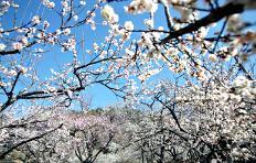 봄을 부르는 꽃! 동백 VS 매화, 당신의 선택은?